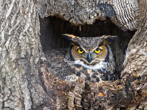 Female Great Horned Owl in Nest