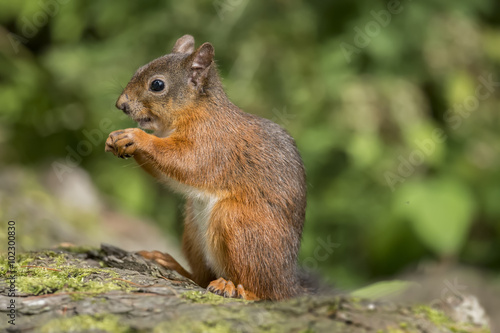 Tuinposter Eekhoorn Red squirrel, Sciurus vulgaris, sitting on a tree trunk eating a nut