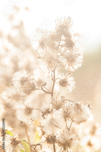 Wild plant, weed, grass, with seeds in uncultivated field - 102336041