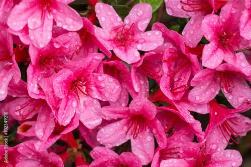 Fotobehang Roze fioritura di azalee