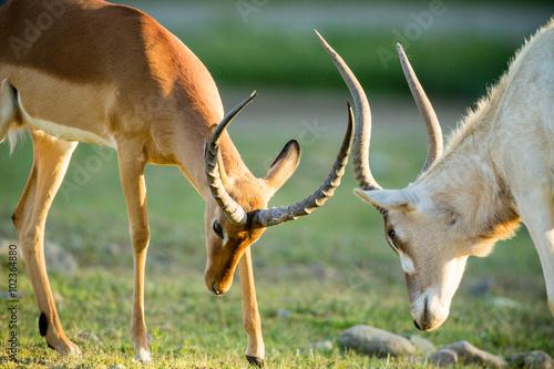 obraz PCV Antelope Fighting