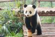 Giant Panda curiously standing, Chengdu, Szechuan, china