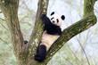 Giant Panda Sitting in Tree, Szechuan, China