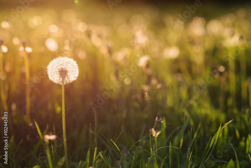Green summer meadow with dandelions at sunset. Nature background Poster