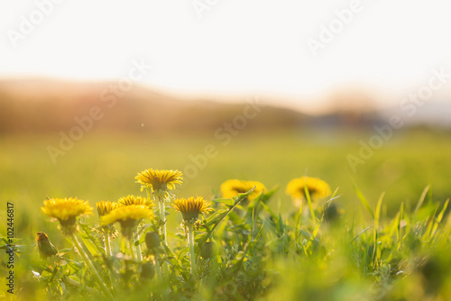 Close up of dandelions on sunny summer meadow. Nature background Canvas Print