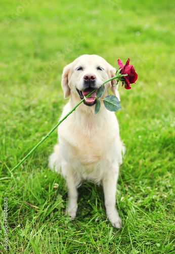 Beautiful Golden Retriever dog holding red flower in teeth on gr