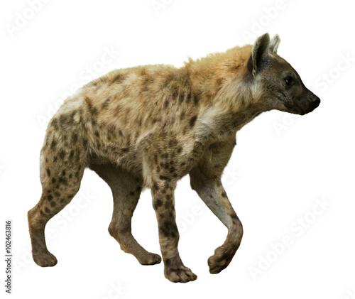 Papiers peints Hyène Spotted hyena on white