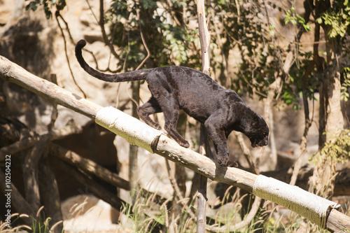 Foto op Canvas Panter Black Leopard
