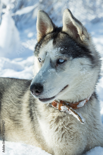 Foto op Plexiglas Kiev Dog breed Husky