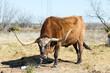 Texas longhorn bull breed licked