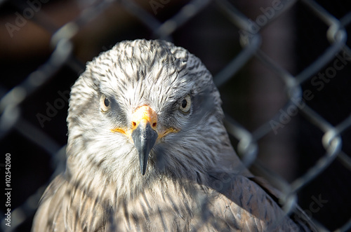 A red kite (Milvus milvus) staring through the wire fence Poster