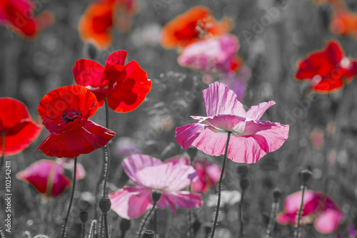 summer meadow with red poppies - 102542411