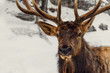Close-up of a deer in the winter (Omega Park of Quebec)