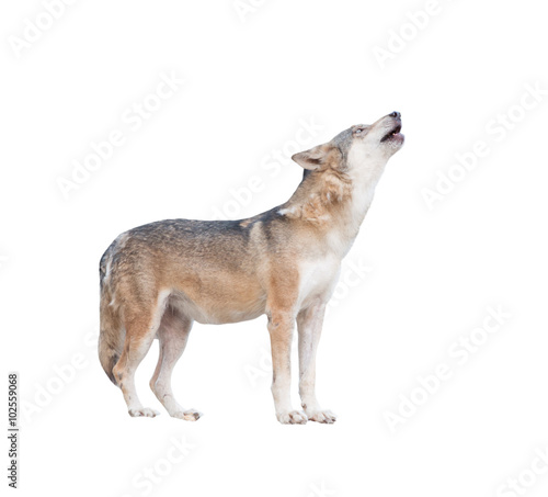Fotobehang Wolf gray wolf howling isolated