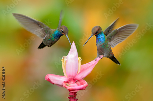 Poster White-tailed Hillstar, Urochroa bougueri, two hummingbirds in flight on the ping