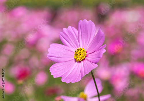 Aluminium pink cosmos flowers blooming in the garden.
