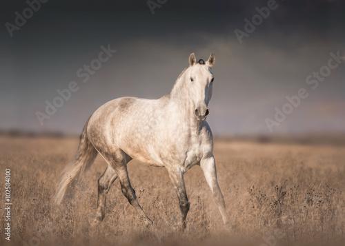 Gray horse run