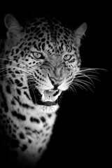 Leopard on dark background © byrdyak