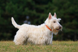 White (wheaten) scottish terrier, cute dog on green grass lawn