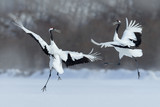 Fototapety Dancing pair of Red-crowned crane with open wing in flight, with snow storm, Hokkaido, Japan