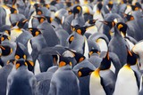 King penguin colony, many birds together, in Falkland Islands