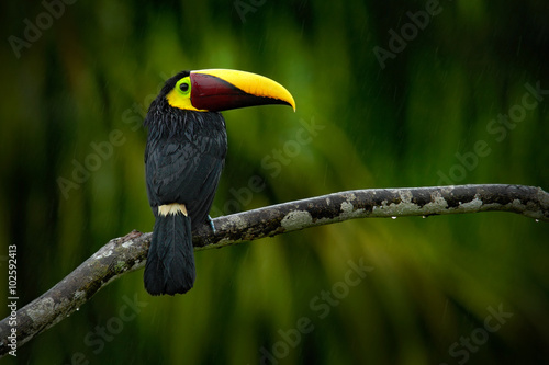 Duży dziób ptak Chesnut-mandibled Toucan siedzi na gałęzi w tropikalnym deszczu z zielonym tle dżungli