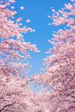 Kirschblüten vor blauem Himmel als Hintergrund im Hochformat