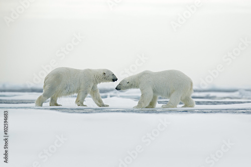 Polar bear couple cuddling on drift ice in Arctic Svalbard - 102594683