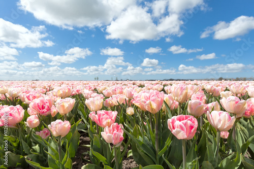 beautiful pink tulip field in sunny day