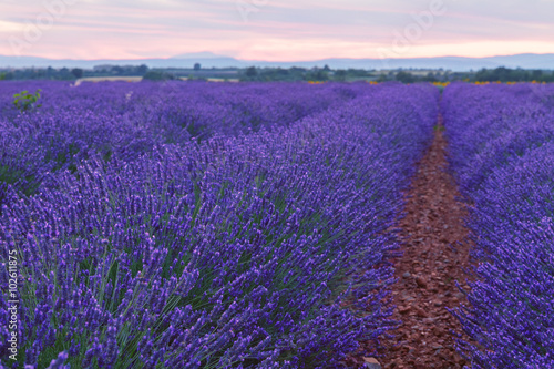 Foto op Canvas Violet Beautiful colors of lavender field in Provence, Valensole