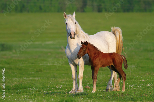 Two horses, brown foal and white mother