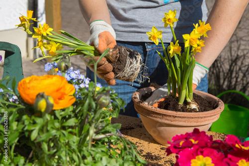 Zdjęcia na płótnie, fototapety, obrazy : Frühling. Einpflanzen von Frühlingsblumen im Garten.
