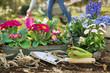 Obrazy na płótnie, fototapety, zdjęcia, fotoobrazy drukowane : Gartenarbeit im Frühling. Farbenfrohe einjährige Blumen im Garten.