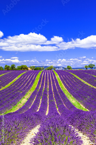 Papiers peints Prune blooming lavander fields in Provance, France