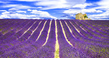 blooming violet feelds of lavander in Provance, France