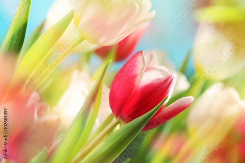 Zdjęcia na płótnie, fototapety na wymiar, obrazy na ścianę : tulips