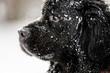Beautiful big newfondlander dog in snow