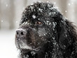 Beautiful big newfondlander dog in snow
