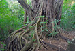 Ficus Tree roots in rainforest the jungle, Costa Rica, a source for many medicinal plants used in medicine and drug development