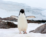 A Gentoo Penguin in Antarctica.