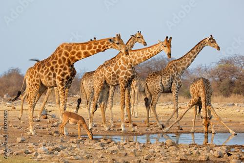 Fototapeta Giraffe herd (Giraffa camelopardalis) at a waterhole, Etosha National Park, Namibia.