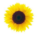 Sonnenblume vor weißem Hintergrund