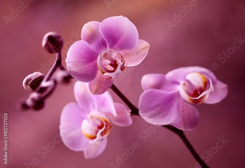 Zdjęcia na płótnie, fototapety na wymiar, obrazy na ścianę : Orchidea - Storczyki fiolet