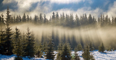 Sun rays in the fir trees forest