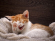 Funny cat laughing. Portrait of a laughing cat largly. White kitten with a red, small and cute. A cat in a good mood