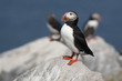 Lone Puffin Bird Stands Guard Over Nest