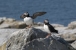 Atlantic Puffin Spreads Wings to Protect Nest