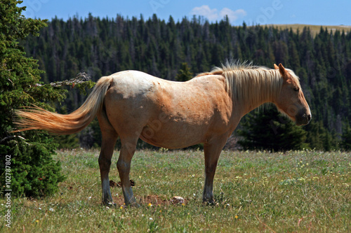 Wild Horse Mustang Palomino Mare in the Pryor Mountains in MT Poster