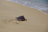 Fototapety  turtle go to the sea