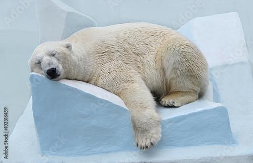 Papiers peints Antarctique Белый медведь спит.
